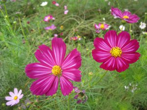 江戸川松戸フラワーライン秋の花まつり2018